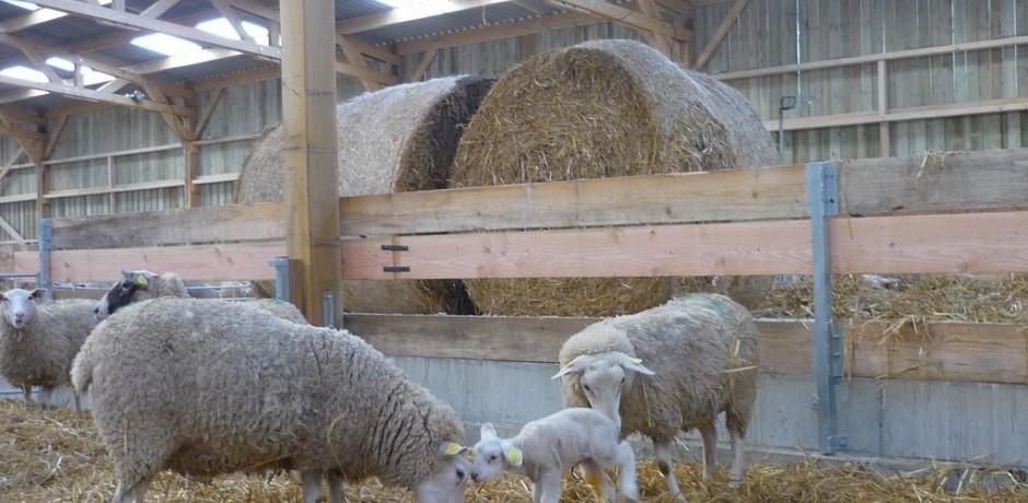 hangar en bois pour moutons sur aire paillee